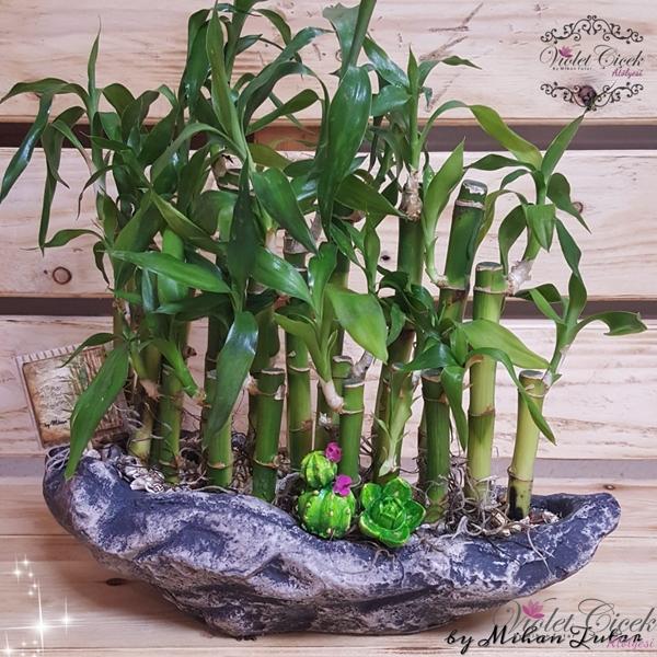 Taş Saksıda Şans Bambuları